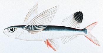sardineok