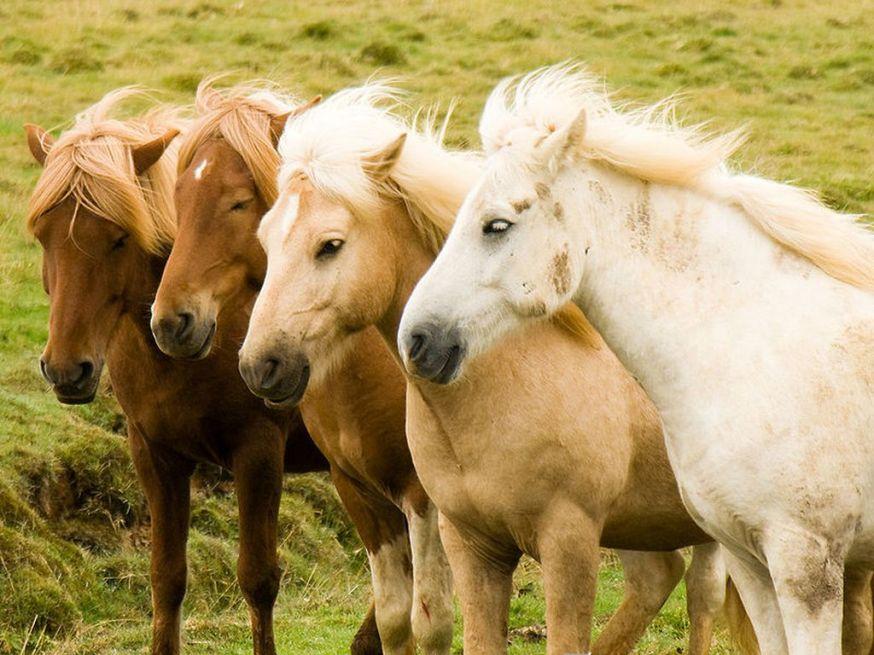 La-transhumance-des-chevaux-islandais [1280x768]