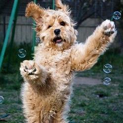 chien-bulle