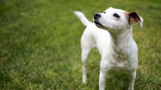 petit-chien-jack-russel