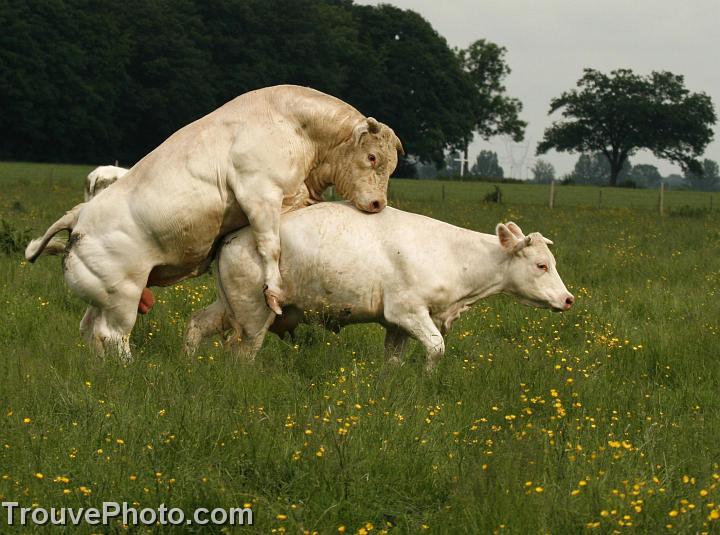 taureau vache