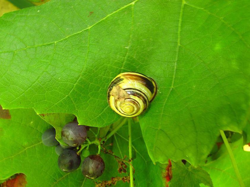 escargot-sur-feuille-de-vigne [1280x768]