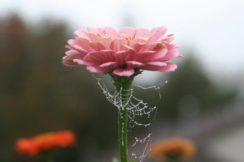 fleur toile d'araignée