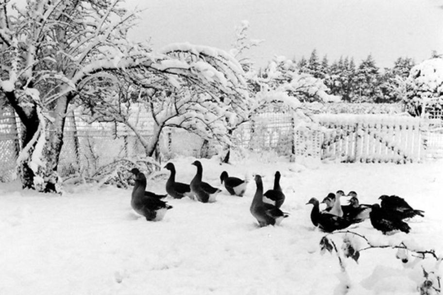 la-basse-cour-dans-la-neige [1280x768]