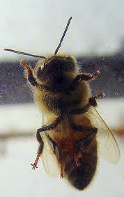 abeille-vitre