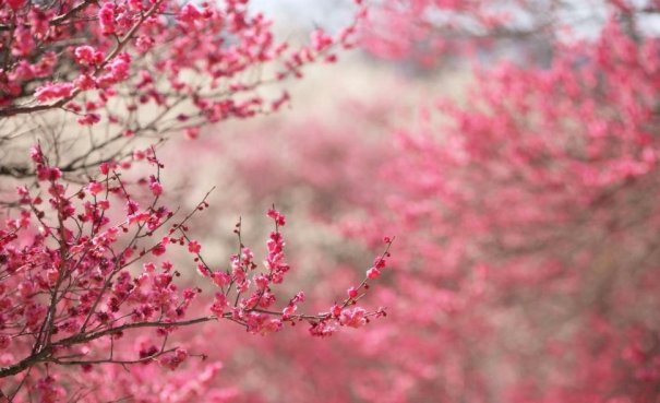 cerisier_p