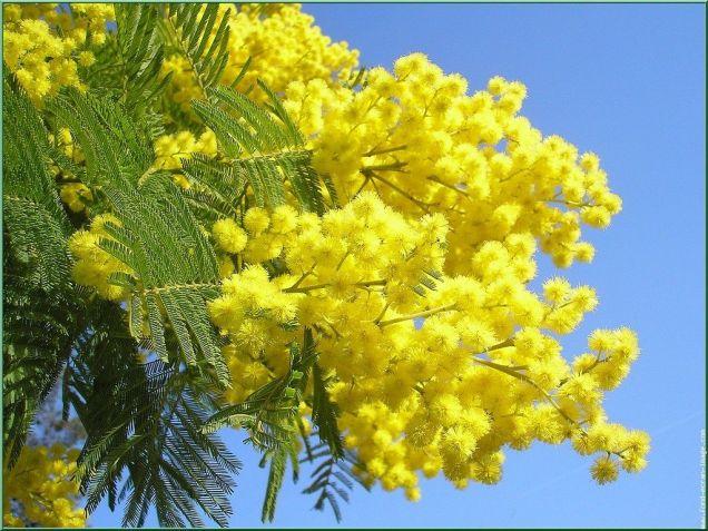 mimosa  [1280x768]