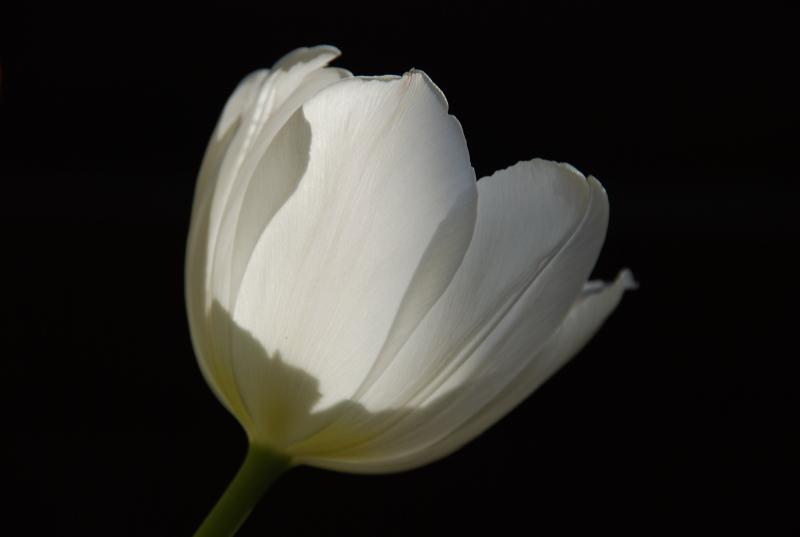 tulipe m