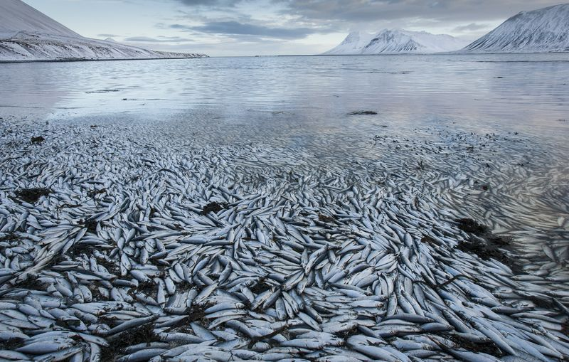 Iceland Fish Deaths