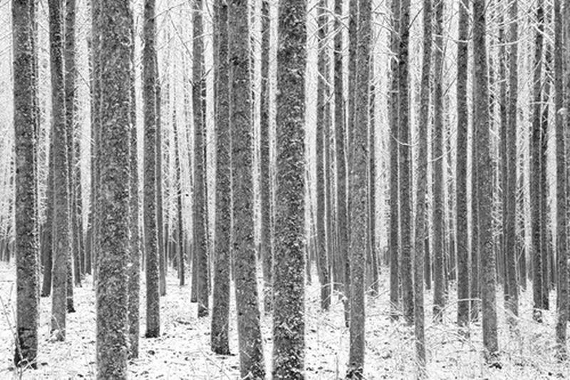 Poplars in Snow