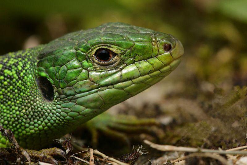 lezard-vert-lacerta-viridis [800x600]