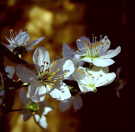 fleurs bourgeons prunier 2