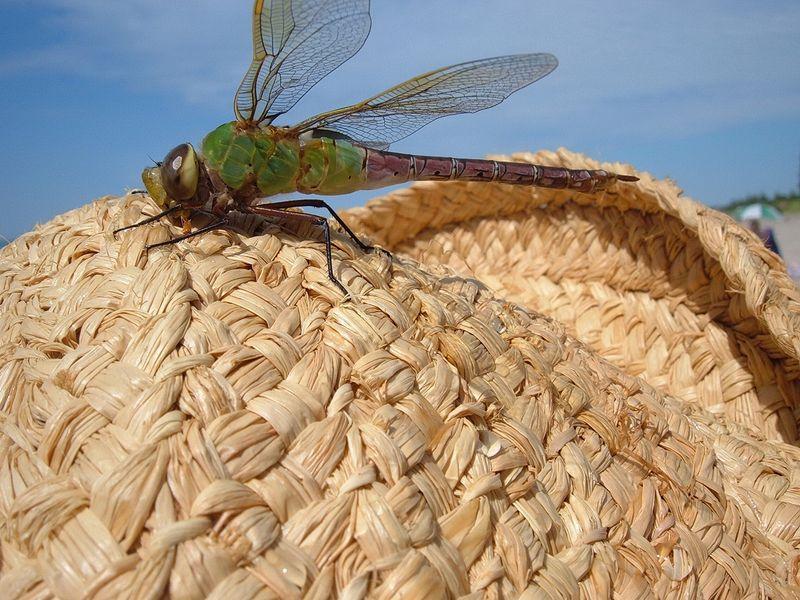 libellule sur un chapeau [800x600]