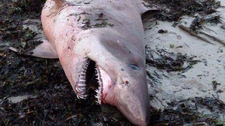requin 60
