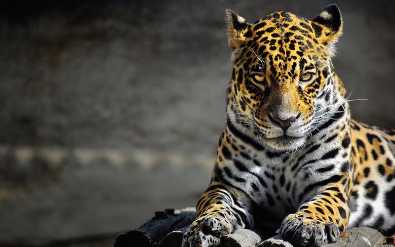 jaguar [800x600]