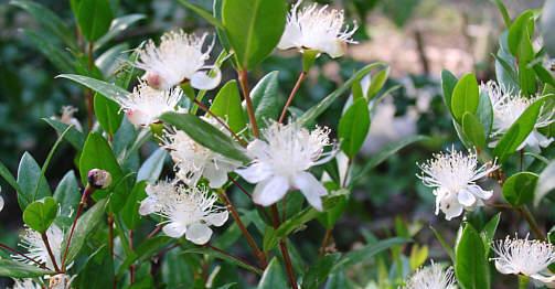 myrte en fleurs