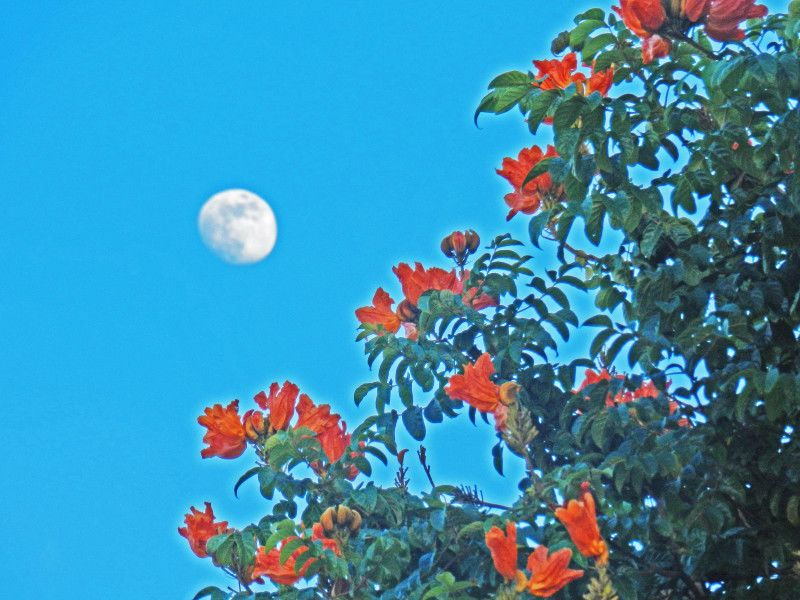 lune tulipier [800x600]