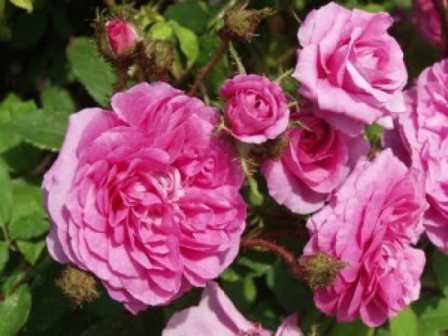 roses de Damas e2 [800x600]