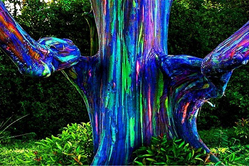 eucalyptus arc-en-ciel [800x600]