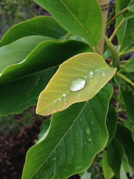 magnolia pluie [800x600]