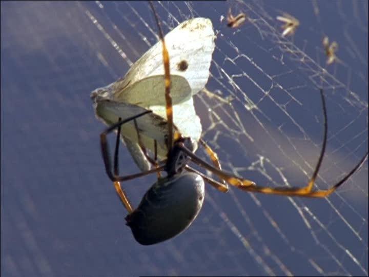 papillon toile araignée