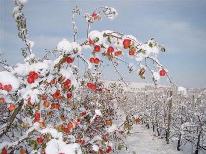 photo-pommiers-pink-rose-sous-la-neige