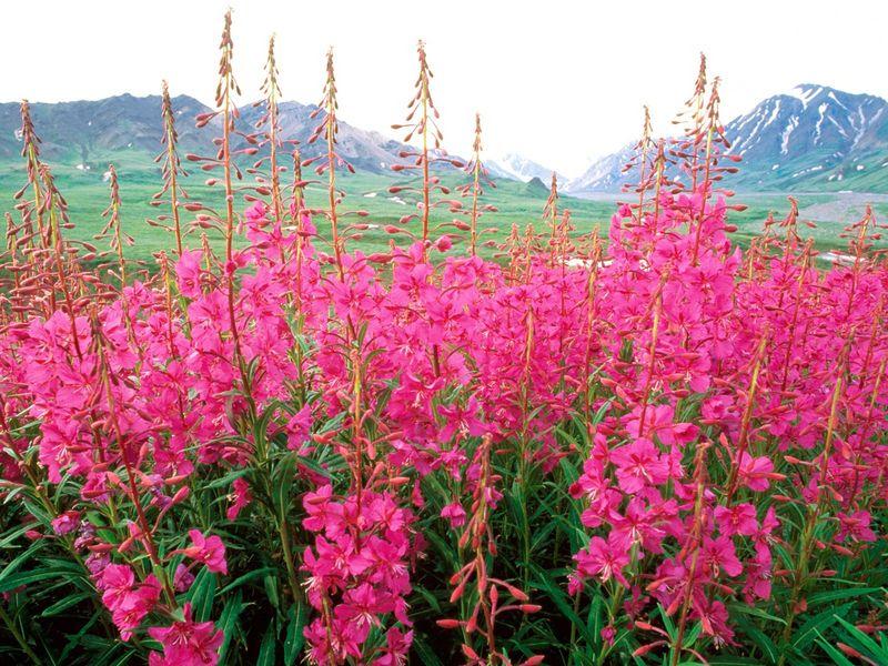 fireweed-alaska [800x600]
