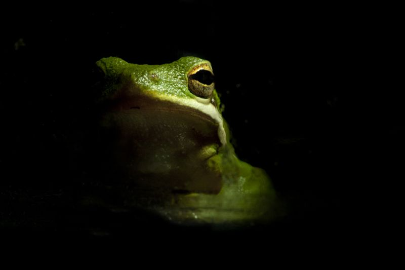 American Green Tree Frog, Macro photography