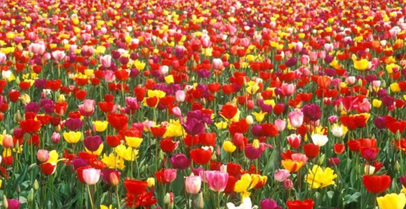 tulipes jpg [800x600]