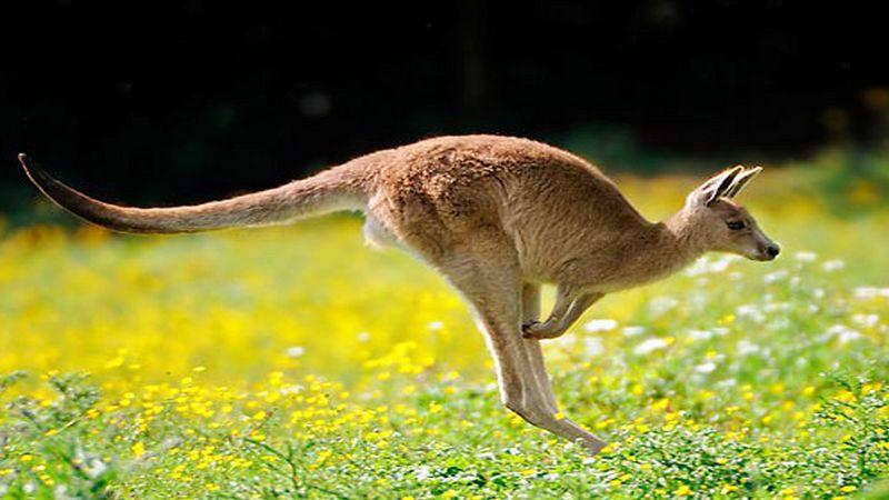 kangourou e [800x600]