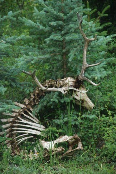 squelette cerf [800x600]