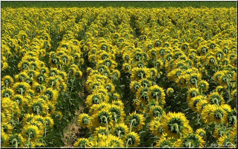 Un magnifique champ de tournesols sur la route du retour. Un petit arrêt et quelques photos. Même vus de dos, ils sont superbes.