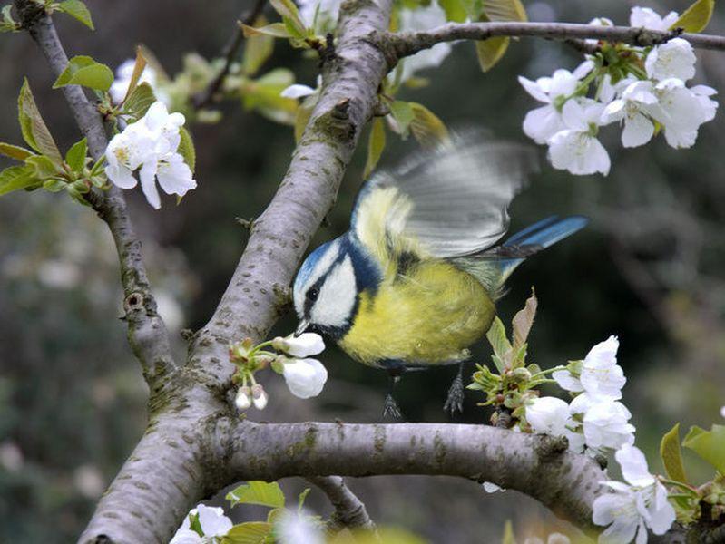 mesange-au-cerisier-oiseaux-9d3f60T650 [800x600]