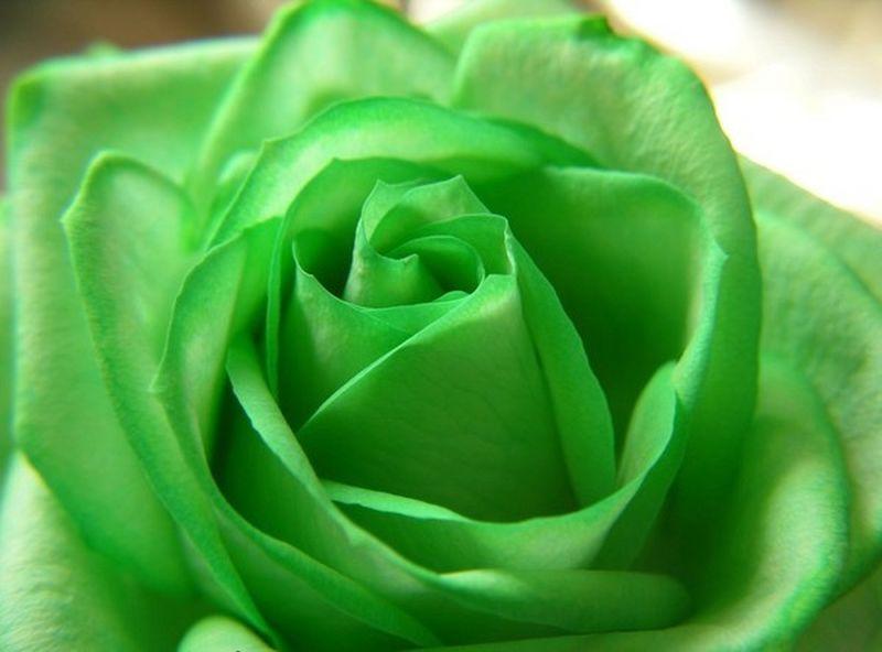 rose-verte-4-800x600