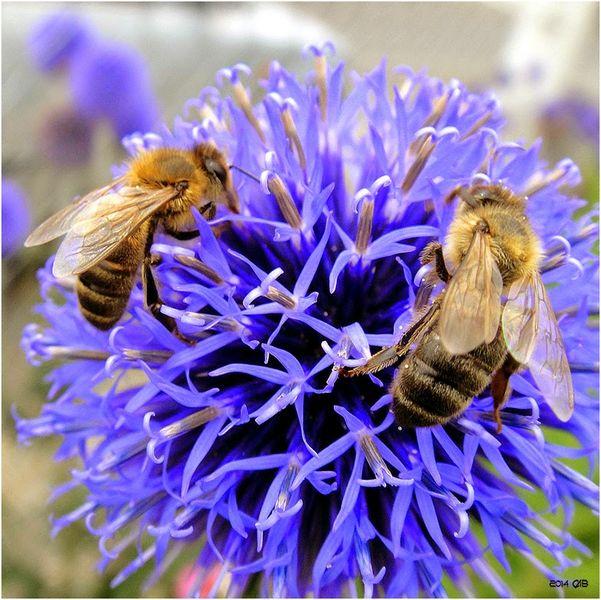 abeilles-butinage-sur-chardon-bleu-800x600