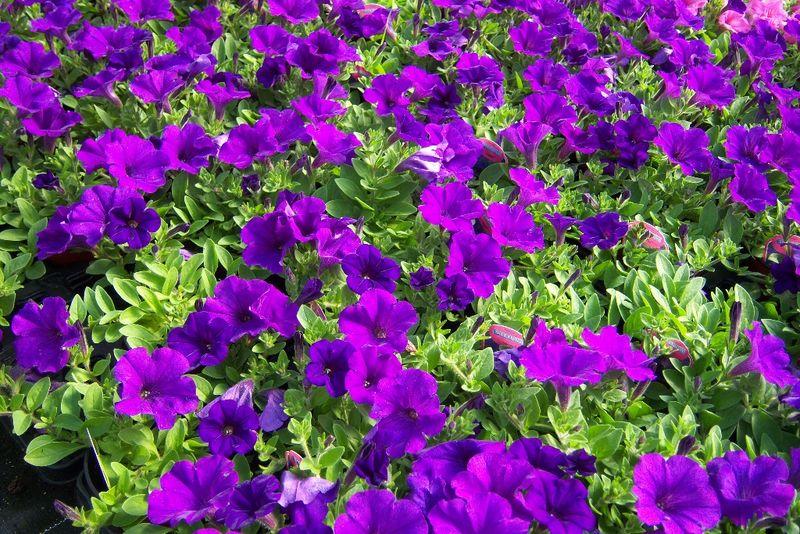 petunia-hybrides-parade-plus-bleu-99-800x600