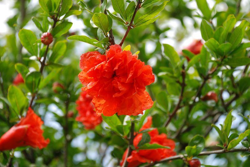 fleur-de-grenadier-800x600