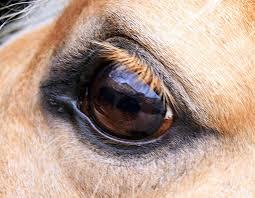 oeil-de-cheval-x