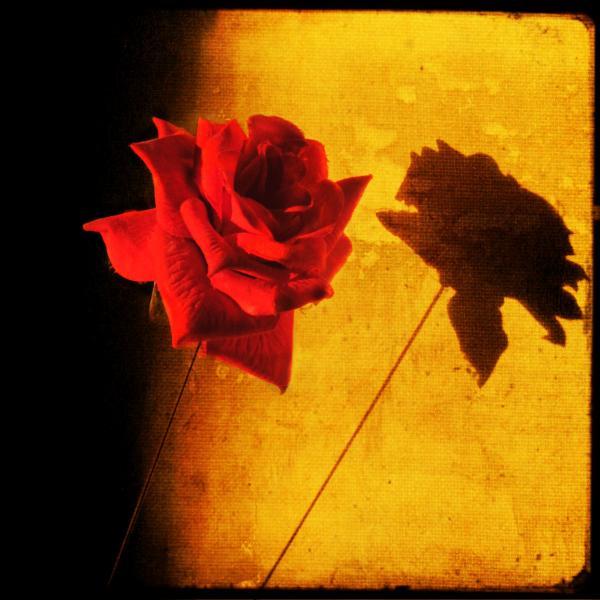 ombre-de-rose