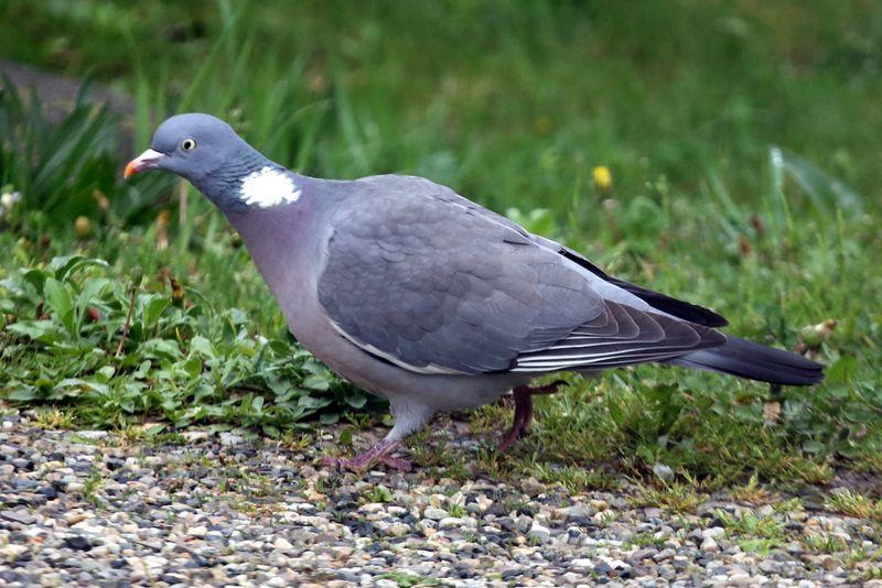 pigeon-ramier-800x600
